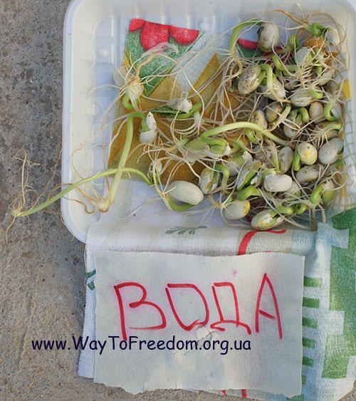 Проращивание семян фасоли под воздействием воды (контрольный опыт)